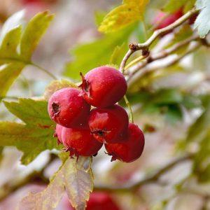 Cranberry Maple Sake